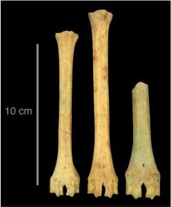 Metatarsos on s'observa la variabilitat de la mida de les ovelles al port d'Empúries durant l'edat del ferro