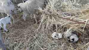 Explotació d'ovella Xisqueta del Pallars. Cinquena generació de pastors de Casa Mateu (Toralla, Lleida)