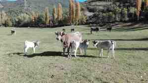 Ramat de vaca bruna dels Pirineus de l'explotació de Borda del Rei, Robert Baro (Pobleta de Bellveí, Lleida)