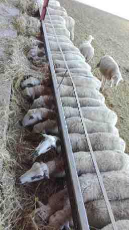 Explotació ramadera d'ovella Xisqueta de Casa Ros (Sant Joan de Vinyafrescals, Lleida)