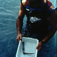 4. Falç recuperada durant les excavacions subaquàtiques realitzades al jaciment neolític de la Draga. Fotografia: Antoni Palomo, equip Draga