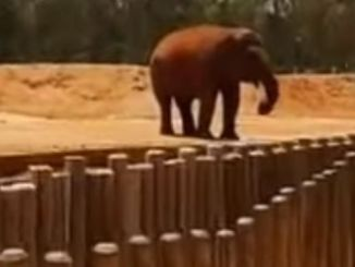 An onlooker filmed the elephant moments after it threw the stone. PHOTO: JADID247