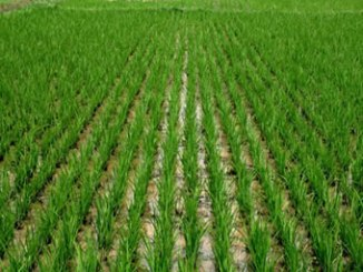 rice-farmland1