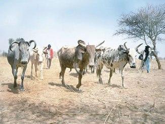 fulani-herd
