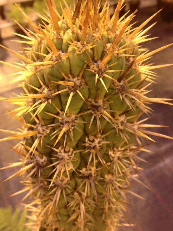 Trichocereus Skottsbergi