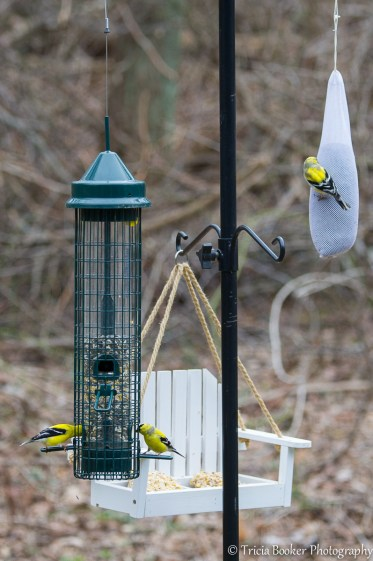 Male American Goldfinches