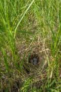Grasshopper sparrow nest