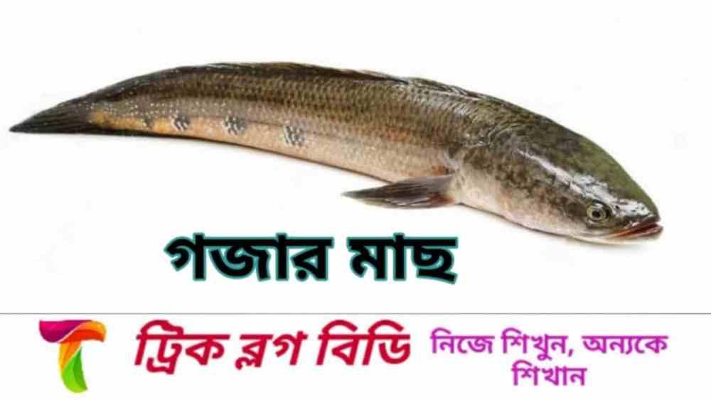বিপন্ন গজার মাছ