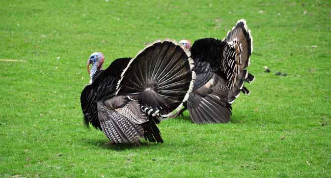 Raising Turkey