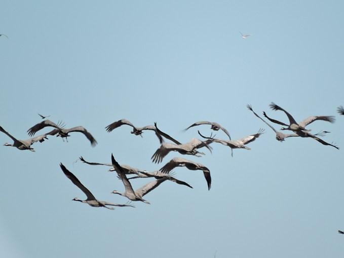 Flygande tranor