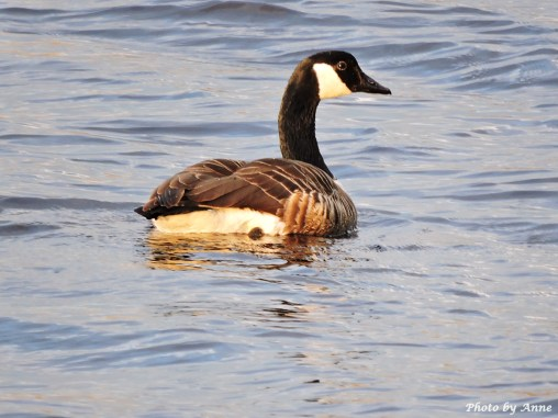 Canada Goose (the dad?)