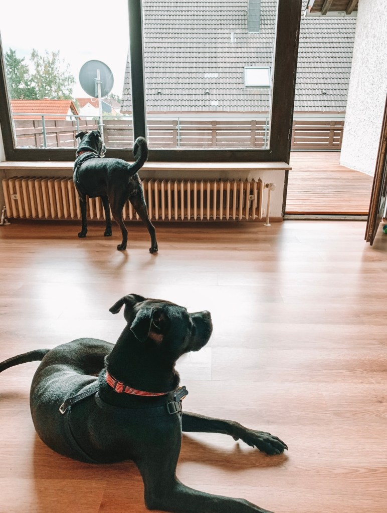 Living in Germany - the dogs explore our new house