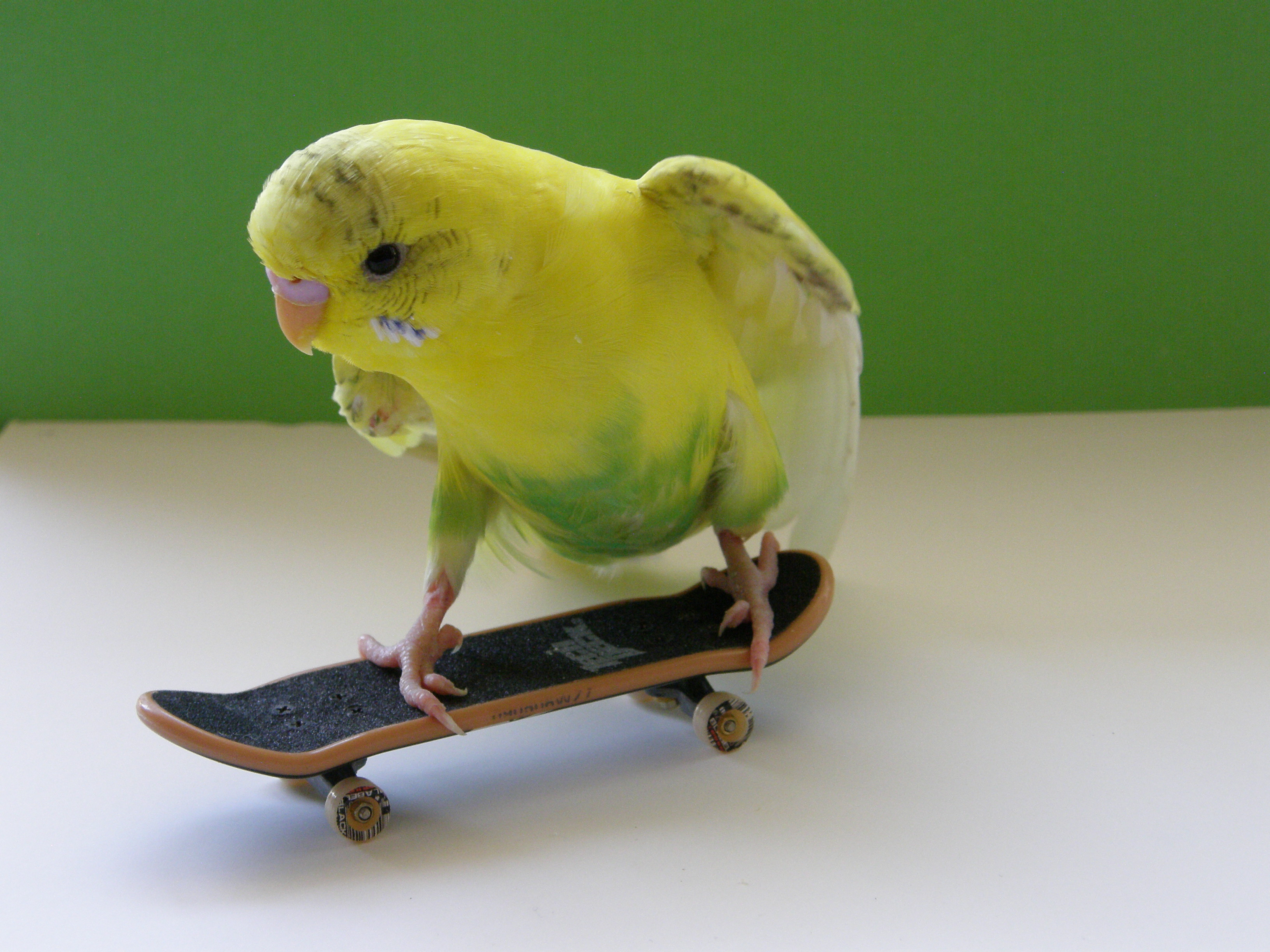 Cute Cockatiel Wallpaper Skateboarding Budgies Triestevisier