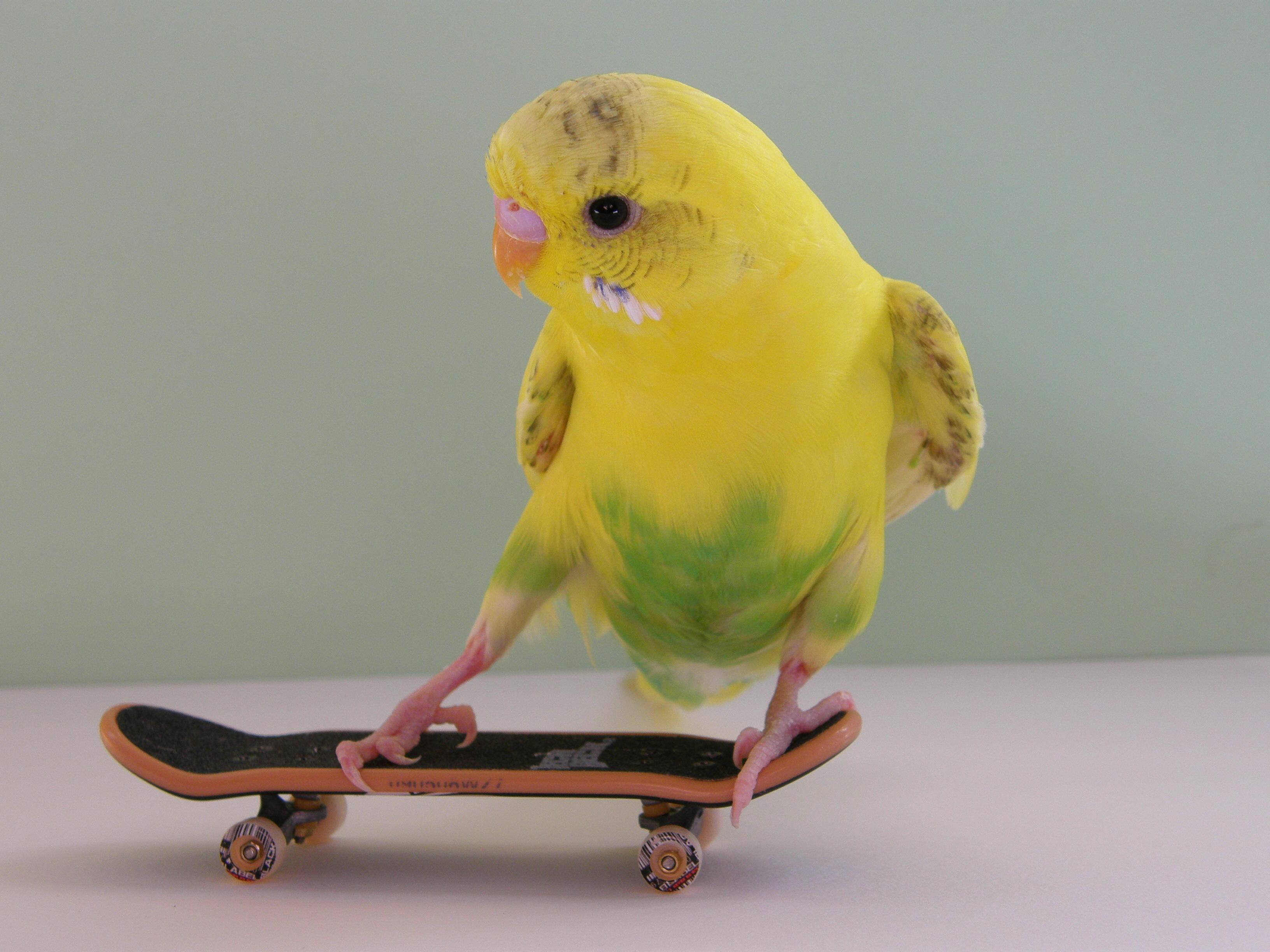 Cute Animals Playing Soccer Wallpaper Skateboarding Budgies Triestevisier