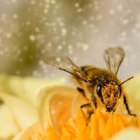 Tôi muốn làm một con ong
