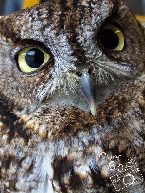 Mad Max and western screech owl