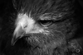 Harris Hawk Stare