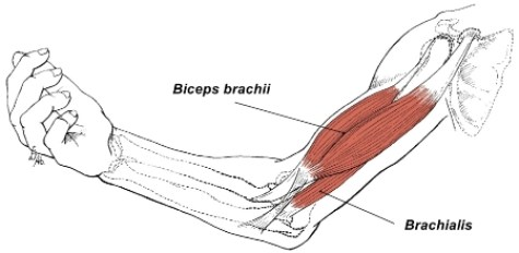 Brachialis and biceps muscles illustration