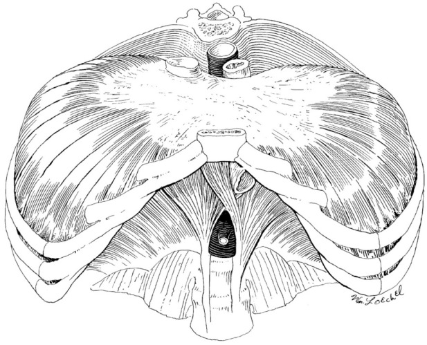 human diaphragm muscle illustration