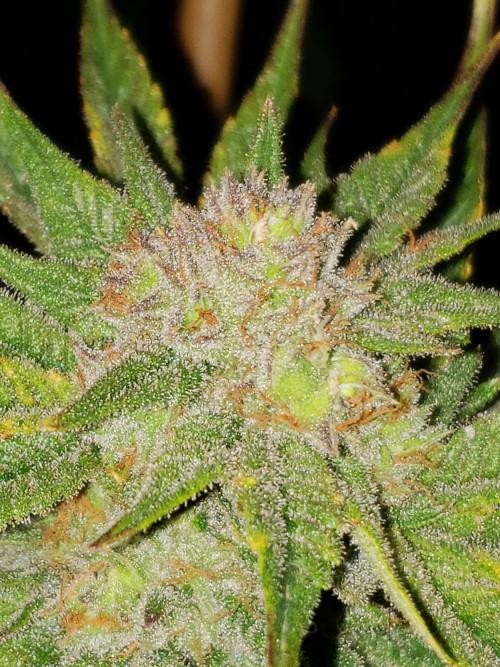 Harlequin Cannabis Strain