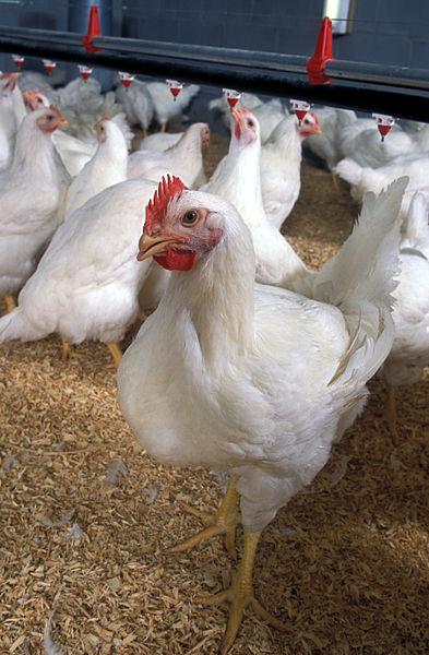cara merawat ayam broiler