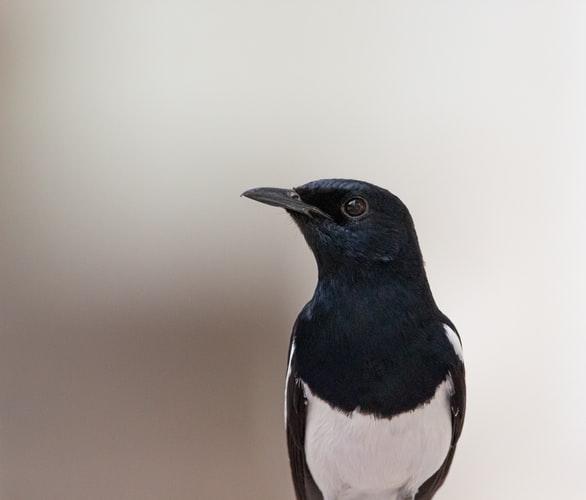 cara merawat burung murai