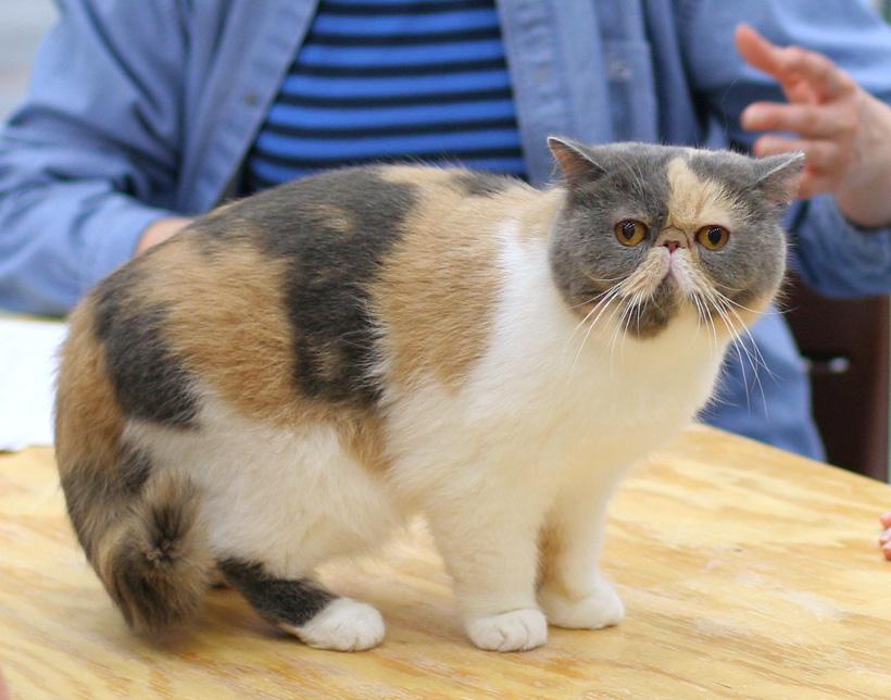 cara merawat kucing exotic shorthair