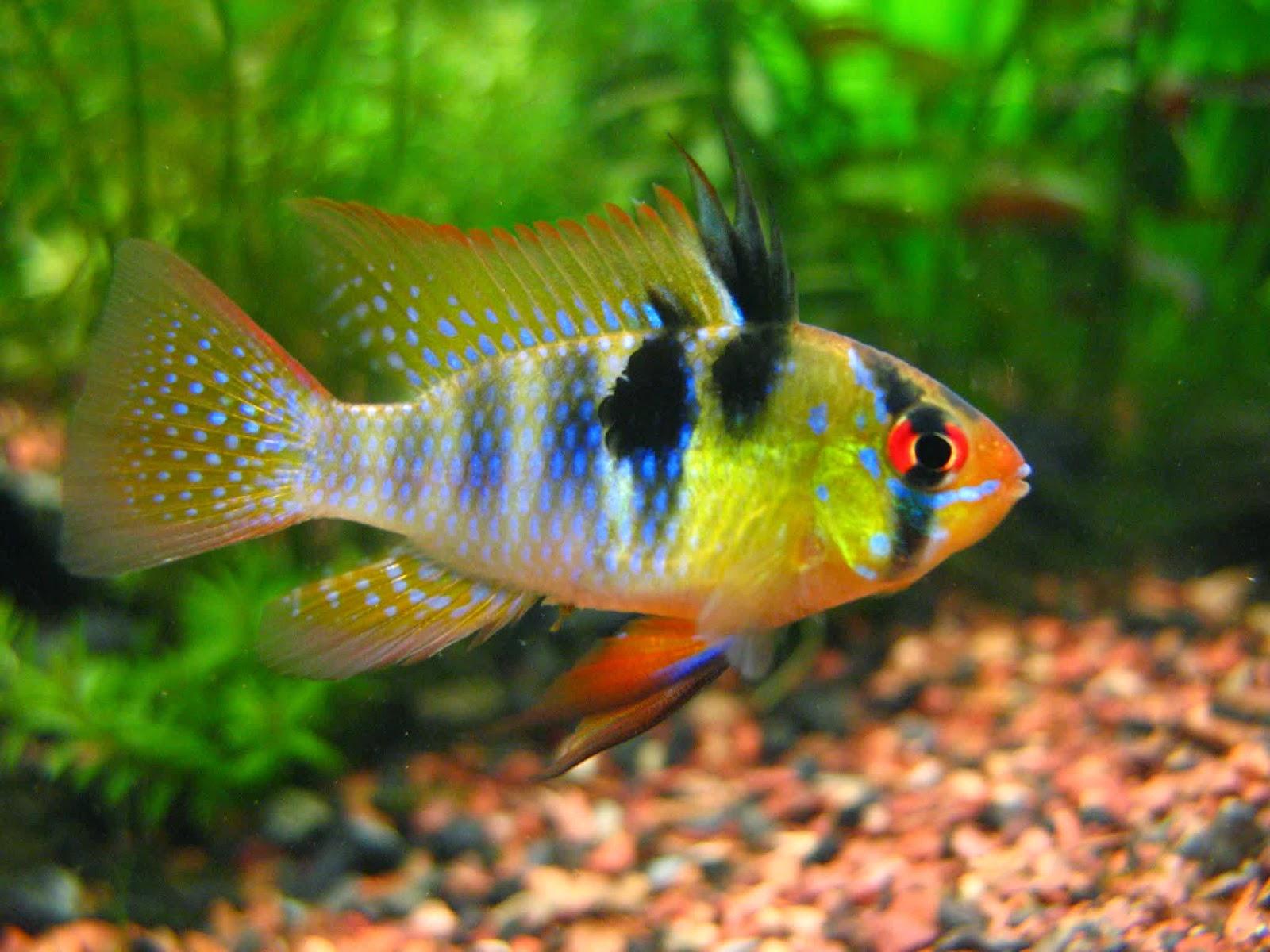 Budidaya Ikan Ramirezi