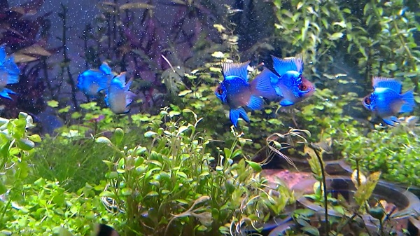 Ikan Blue Elektrik