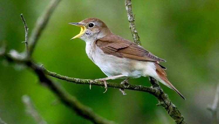 Tata Cara Budidaya Burung Flamboyan yang Praktis dan Berhasil Trikmerawat.com