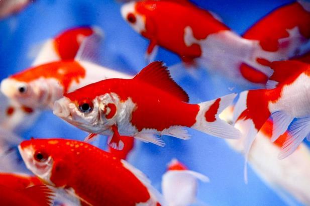 Budidaya Ikan Komet