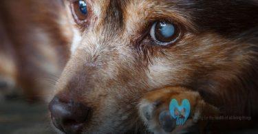 Glaukoma pada Anjing