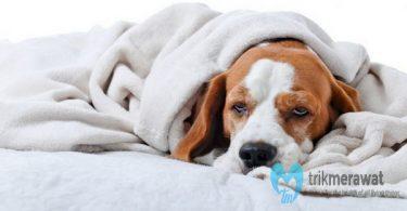 Sakit Batuk Pada Anjing