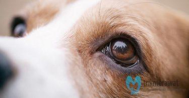 Sakit Mata pada Anjing