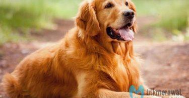 cara memelihara anjing golden