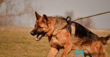 cara memelihara anjing herder