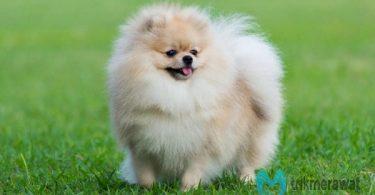 cara memelihara anjing mini pom