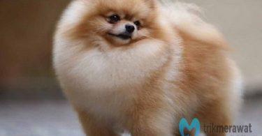 cara merawat anjing pomeranian
