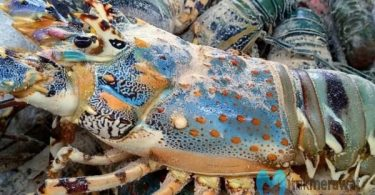budidaya lobster mutiara
