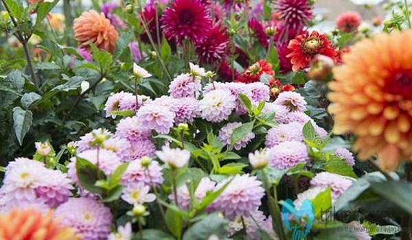 Jenis-jenis Bunga Dahlia