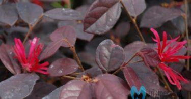 bonsai serut merah