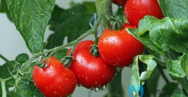 tanam tomat