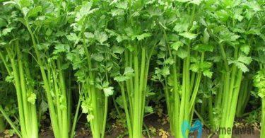 cara menanam seledri