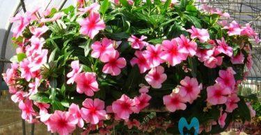 bunga vinca