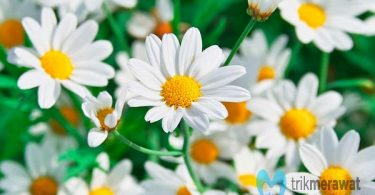 Bunga Chamomile