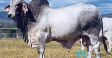 cara penggemukan sapi