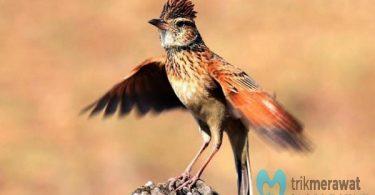 Cara Merawat Burung Branjangan