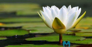cara menanam bunga teratai