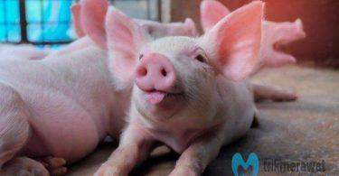cara ternak babi
