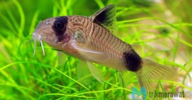 budidaya ikan corydoras